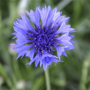 Bleuet, fleur qui attire les pollinisateurs